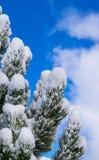 Schnee auf den Kiefern Stockbild