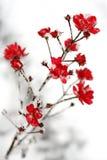 Schnee auf den roten Blumen stockfotografie