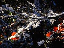 Schnee auf einem Baumast mit roten Blättern Stockfotografie