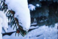 Schnee auf einem Kiefernholzzweig Stockfotos