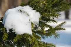 Schnee auf einem Tannenzweig Stockfoto