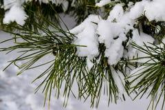 Schnee auf einer immergrünen Niederlassung stockbild