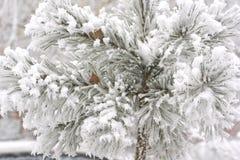 Schnee auf einer Kiefer Stockfotografie