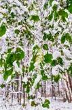 Schnee auf Grünblättern im Wald Stockfotografie