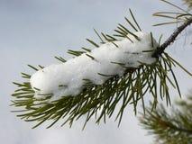 Schnee auf Immergrün Stockfoto