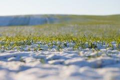 Schnee auf jungem Weizen. Stockfotografie