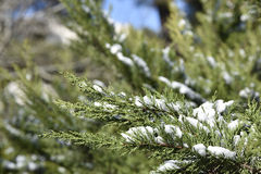 Schnee auf Kiefer Stockfotos