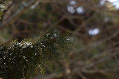 Schnee auf Kiefer Stockbild