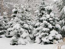 Schnee auf Kiefern Stockbild