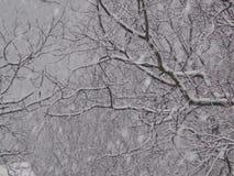 Schnee auf Niederlassungen der Walnuss stockfoto