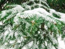 Schnee auf Tannenzweigen Wintertag im Wald oder im Park Stockfoto