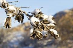 Schnee auf Yucca-Samen-Hülsen Lizenzfreies Stockbild