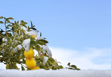 Schnee auf Zitronen im Baum Stockfotografie