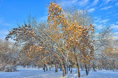 Schnee bedeckte Ahornbaum u. x28; Acer-negundo& x29; mit goldenen Samen Stockbilder