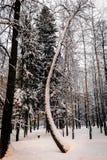 Schnee bedeckte Baum mit gebogenem Stammwinter stockbild