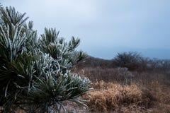 Schnee bedeckte Blätter der Kiefers Stockfotos