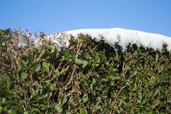 Schnee bedeckte Büsche Stockfotos