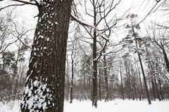 Schnee bedeckte Eiche am Rand des Waldes Stockfoto