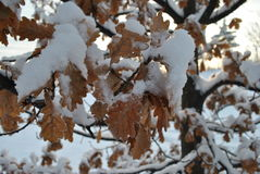 Schnee bedeckte Eichenblätter Stockfotos