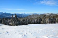 Schnee bedeckte gezierte Bäume steht in Schnee gefegter Bergwiese unter einem blauen Himmel Erstaunliche Wintersonne hoch in den  Stockfotos