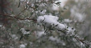 Schnee bedeckte grünen Zweig sich bewegt leicht in die Brise als die Schneefälle stock video