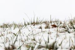 Schnee bedeckte Gras Lizenzfreie Stockbilder