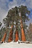 Schnee bedeckte große Mammutbaumrotholzbäume riefen die vier Schwestern im Mammutbaum-Nationalpark Kalifornien an Lizenzfreie Stockbilder