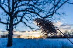 Schnee bedeckte hohes Gras auf dem Gebiet bei Sonnenuntergang Stockfoto