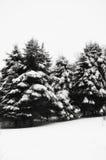 Schnee bedeckte immergrüne Bäume Stockfotos