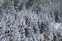 Schnee bedeckte immergrüne Tannenbäume während des Winters Stockfotografie