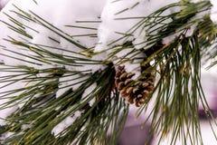Schnee bedeckte Kiefer Niederlassung und pinecone Lizenzfreies Stockfoto