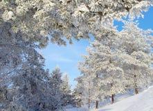 Schnee bedeckte Kiefern auf dem Hügel Stockfoto