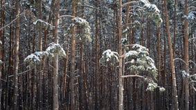 Schnee bedeckte Kiefern-Tannenbäume im Wald Stockfoto