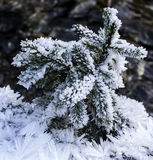 Schnee bedeckte Kiefernniederlassungen und Eiskristalle Stockfoto