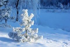 Schnee bedeckte kleine Kiefer Lizenzfreie Stockfotografie