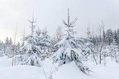 Schnee bedeckte Nadelbäume in einer Winterwaldlandschaft stockbilder
