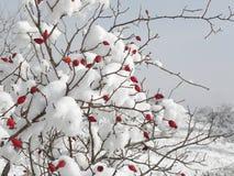Schnee bedeckte rote wilde Briers Lizenzfreies Stockfoto