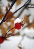 Schnee-Beere Stockfotografie