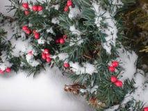 Schnee-Beeren Stockfotografie