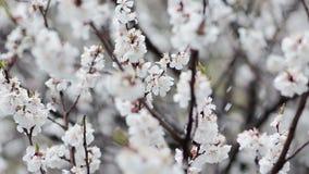 Schnee in blühendem Fruchtgarten Schieben des Schusses stock video
