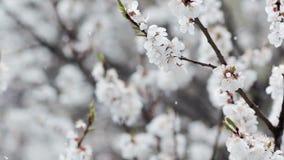 Schnee in blühendem Garten Langsame Bewegung Freier Raum stock video