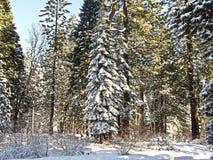 Schnee deckte Bäume ab Stockbild