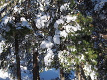 Schnee deckte Bäume im Wald ab Stockbilder