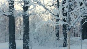 Schnee deckte Baum ab Schnee, der vom Baum fällt Snowy-Bäume im Winter Rütteln des Baums stock video footage