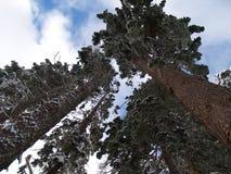 Schnee deckte Douglas-Tannenbäume ab Stockfotografie