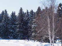 Schnee deckte gezierte Bäume ab Lizenzfreie Stockbilder