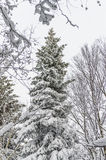 Schnee deckte gezierte Bäume ab Stockbild