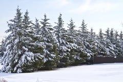 Schnee deckte Kiefer ab Stockfotos