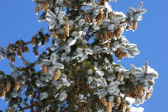 Schnee deckte Kiefer mit Kiefernkegeln ab Lizenzfreies Stockfoto