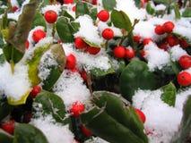 Schnee deckte rote Beeren ab Stockfoto